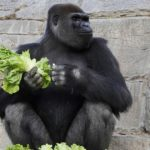 San Diego Zoo gorillas close to full recovery from COVID-19