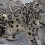 There are two snow leopards at the San Diego Zoo. Both endangered cats now have COVID-19