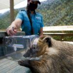 San Diego Zoo and Safari Park race to vaccinate animals as COVID-19 surges